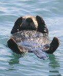 My ocean is a a trash can!!! Sad sea otter asks you to clean up the seas